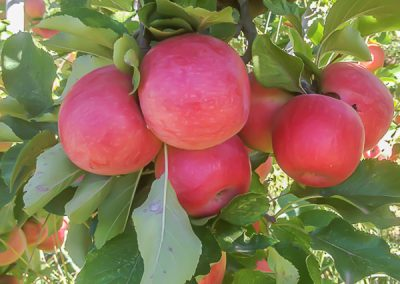 Apples Tammy